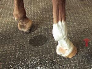 Hoof Dryness