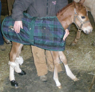 Toe & Heel Extensions for Foals