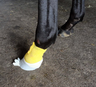 7 - A latex glove is protection for prepped hoof