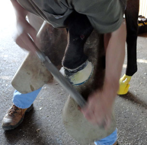 13 - Use rasp to dress the hoof & contour adhesive around the M/L extension