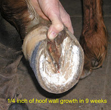 Figure 2 - Hoof wall growth