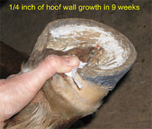 Figure 3 - Heel growth