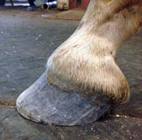 1. Hoof before farrier has started his work
