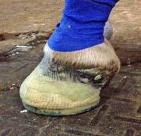 8. Hoof after farrier has finished the Series I shoe application.